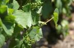 还未成熟的葡萄