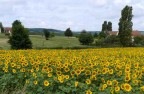 Sun flower field in summer