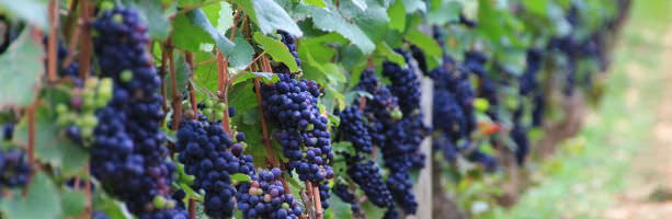 Champagne region - red wine grapes