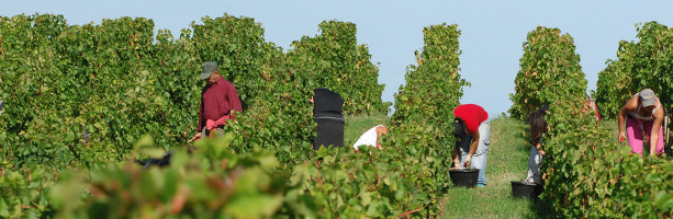 Champagne region - grape harvest