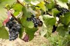 成熟的黑葡萄