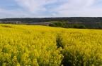 春天的油菜园