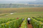 Harvest by hand in Champagne region