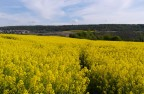 Field of rapeseeds in spring